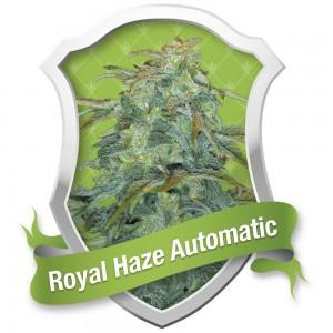 Royal Haze Automatic